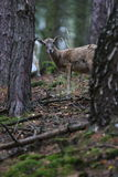 Big european moufflon in the forest,wild animal in the nature habitat. Royalty Free Stock Photo