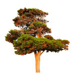 Big evergreen pine tree. Isolated on white background royalty free stock images