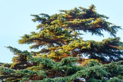 Big evergreen pine tree on sky background Royalty Free Stock Photo