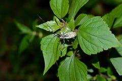 Big exotic capricorn beetle Stock Photography