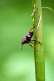 Big exotic weevil. Weevil from forests of North Vietnam stock photography