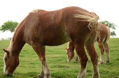 Big expensive horse. In the farm of Texas, eating grass, beautiful and mild Royalty Free Stock Photo