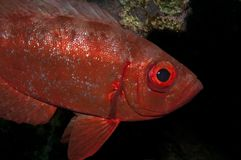Big eye fish in the red sea Royalty Free Stock Photos