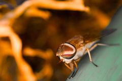 Big Eye Fly. A big eye fly standing on a green branch Stock Images