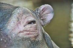 Big eye hippopotamus Stock Images