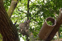 Slow Loris playing on a tree Stock Photography