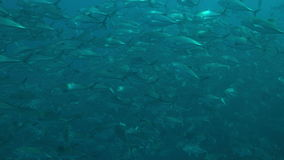 Big-eye Trevallies in blue water stock footage