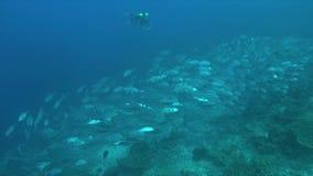 Big-eye Trevallies met een rebreatherduiker op een koraalrif 4k stock video
