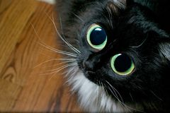 Big eyed cat begging. Big eyed cat focused on begging for food in the kitchen Royalty Free Stock Photo