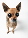 Big-Eyed Chihuahua. Tiny chihuahua with very large eyes Royalty Free Stock Photography