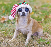 Big-Eyed Chihuahua with christmas hat outside Stock Photos