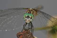 Big-eyed dragonfly. Close-up macro of a dragonfly Stock Photography