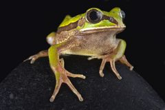 Big-eyed frog Leptopelis nordequatorialis. The Big-eyed frog Leptopelis nordequatorialisis found on savannas in northern Cameroon Royalty Free Stock Photo