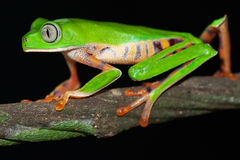 big eyed green tree frog tropical jungle amphibian Royalty Free Stock Photos
