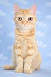 Big eyed Kitty Cat. Blind kitten with glaucoma animal shelter adoption photo pet photography stock photo