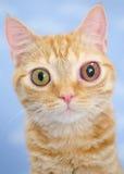 Big eyed Kitty Cat. Blind kitten with glaucoma animal shelter adoption photo pet photography stock photos