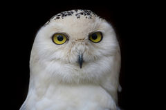 Big eyed owl, staring owl Stock Photo