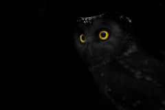 Big eyed owl, staring owl Stock Images