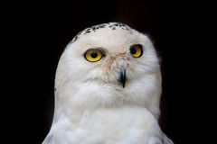 Big eyed owl, staring owl Stock Photography