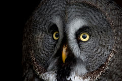 Big eyed owl, staring owl Royalty Free Stock Photo