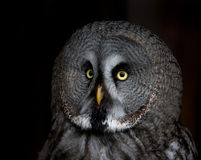 Big eyed owl, staring owl Royalty Free Stock Image