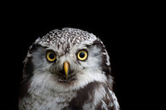 Big eyed owl, staring owl Royalty Free Stock Images