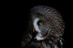 Big eyed owl, staring owl Royalty Free Stock Photography