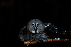 Big eyed owl, staring owl Stock Image
