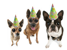 Big eyed party dogs Stock Photos