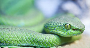 Big eyed pit viper Royalty Free Stock Photos