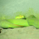 Big-eyed Pit Viper Royalty Free Stock Images