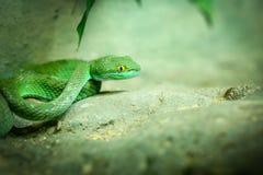 Big-Eyed Pit Viper Royalty Free Stock Photography