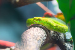 Big-Eyed Pit Viper Stock Photography