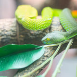 Big-Eyed Pit Viper Royalty Free Stock Photography