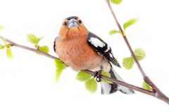 Big-eyed red bird on beautiful birch branch. Bright Herald of spring. Spring greeting. Big-eyed red bird on beautiful birch branch. Finch with massive bill Stock Photography