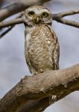 A big eyed spotted owlet staring directly at the photographer. In a forest Stock Image