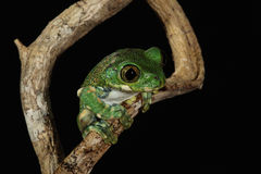 Big-eyed Tree Frog Stock Photo