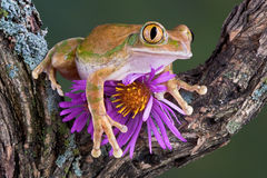 Big-eyed tree frog with aster. A big-eyed tree frog is sitting on an aster flower Stock Photography