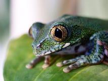 Big-eyed Tree Frog 8 Leptopelis vermiculatus Royalty Free Stock Photography