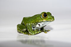Big-eyed tree frog (14) leptopelis vermiculatus, focus is on the Royalty Free Stock Photos
