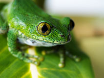 Big-eyed tree frog (7) leptopelis vermiculatus Stock Image