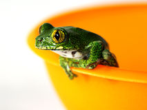 Big-eyed tree frog (4) leptopelis vermiculatus. A big-eyed tree frog,leptopelis vermiculatus, is sitting on a orange bowl Stock Images
