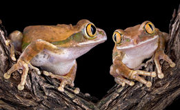 Big-eyed tree frog love Stock Images