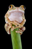 Big-eyed tree frog on stem. A big-eyed tree frog is perched on top of a broken stem Stock Image