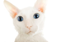 The big eyed white cat Royalty Free Stock Photography