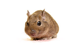 The big eyes. Common Degu, or Brush-Tailed Rat (Octodon degus) in studio against a purple background Royalty Free Stock Photo