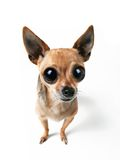 Big eyes. A tiny chihuahua with very big eyes Stock Image