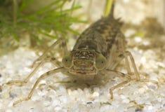 Big eyes. Larva from dragonfly Stock Photos