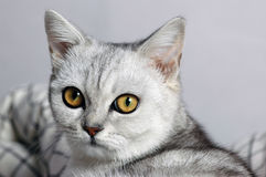 Big eyes cat Royalty Free Stock Photography