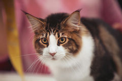 Big Eyes Cat. A cat who were starring at something with big eyes open Royalty Free Stock Photography